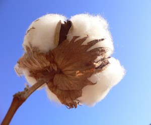 Cotton is a versatile natural material